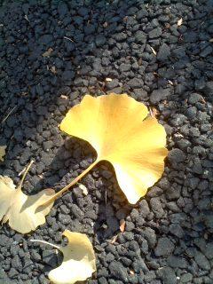 イチョウの葉.jpg