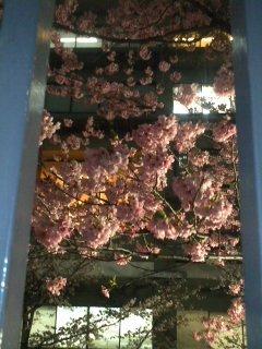 ピンクの桜.jpg