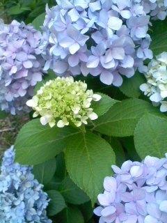 紫陽花②.jpg