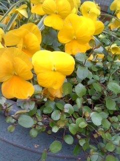 黄色いビオラ.jpg